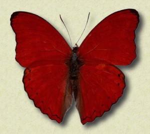 farfalla_rossa