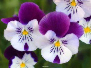 flowers_closeup_12