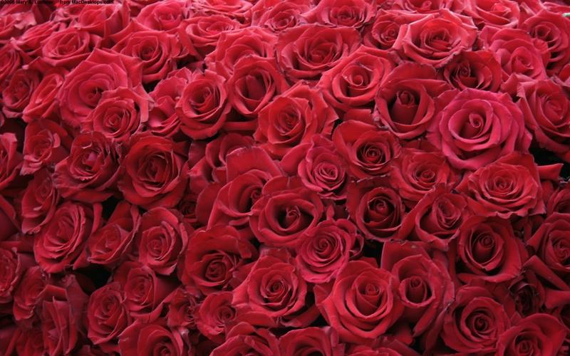 flowers roses red rose 1680x1050 wallpaper_www.wallpaperhi.com_66