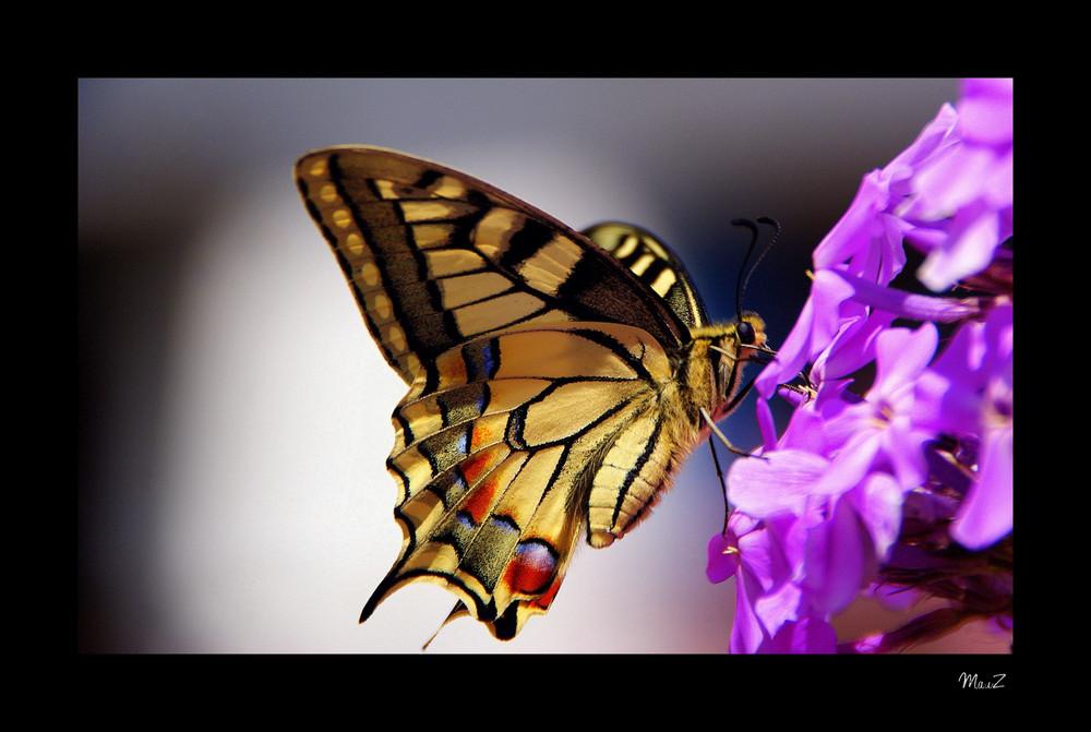 Farfalla-non-identificata-a18451177
