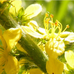 FIORI DI BACH – AGRIMONY  E ASPEN
