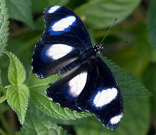 casa-delle-farfalle-Hypolimnas-misippus-m-phn[1]
