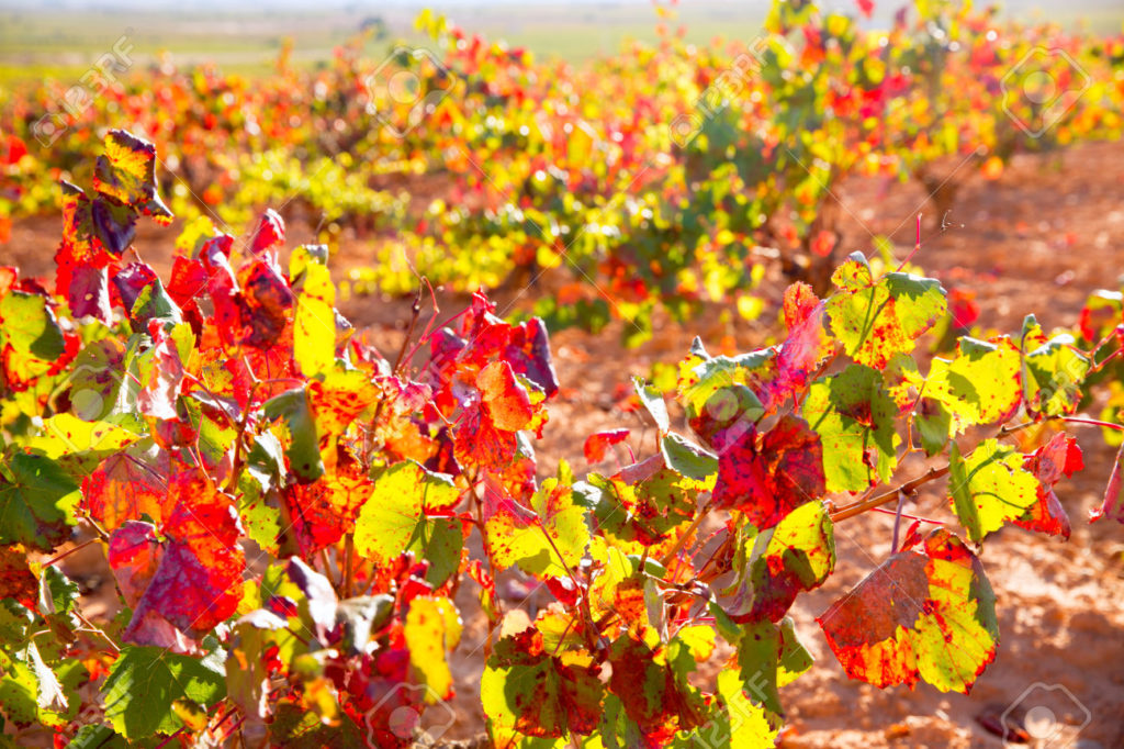 Autumn golden red vineyards in Utiel Requena at Spain