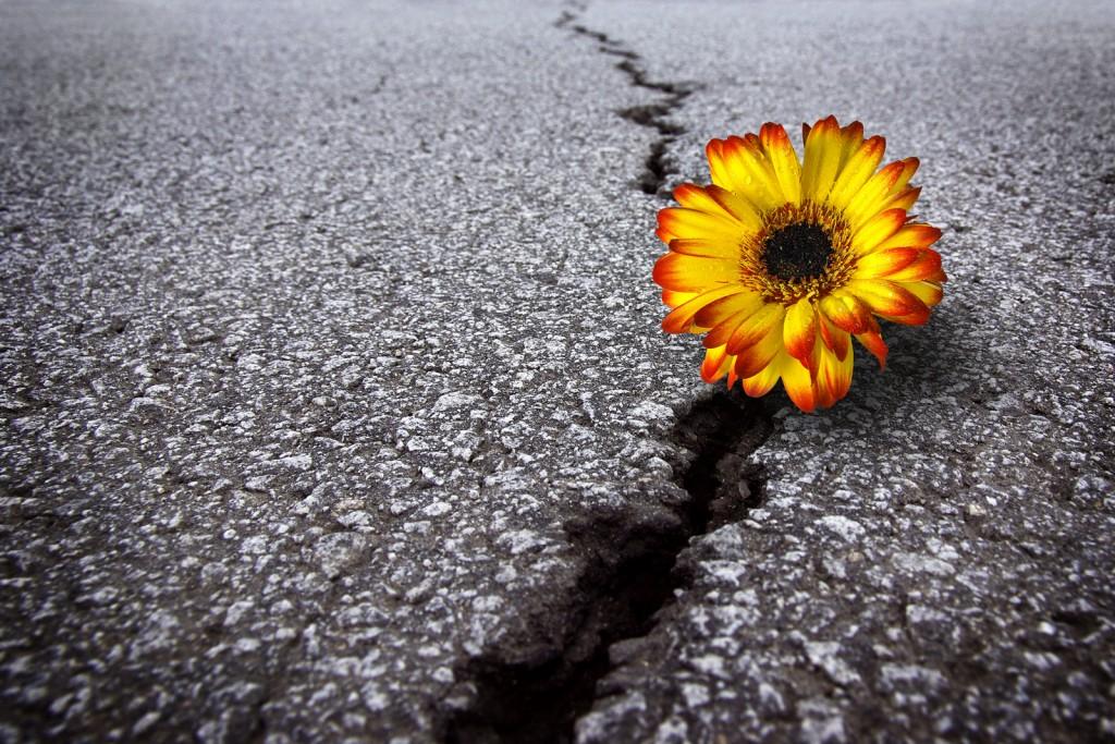 bigstock-Flower-In-Asphalt-6418224