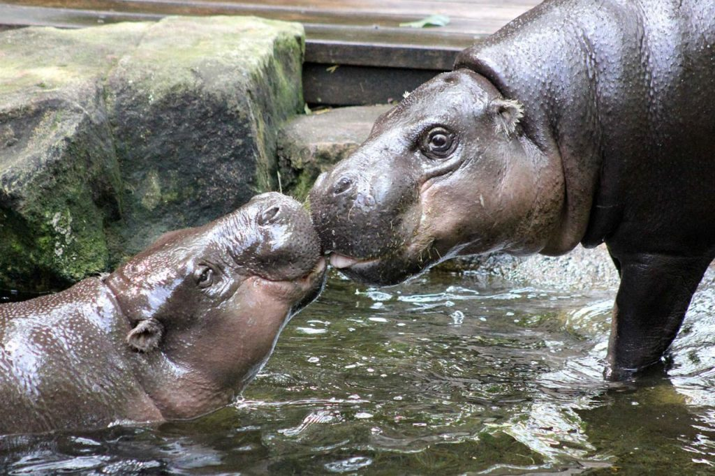 2016_03_Pygmy_Hippos_Come_Nose_To_Nose-001