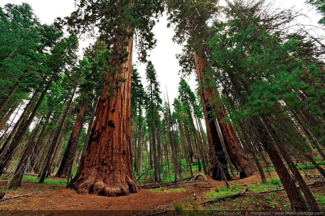 Clothespin-tree-sequoia-Yosemite-Mariposa-Grove